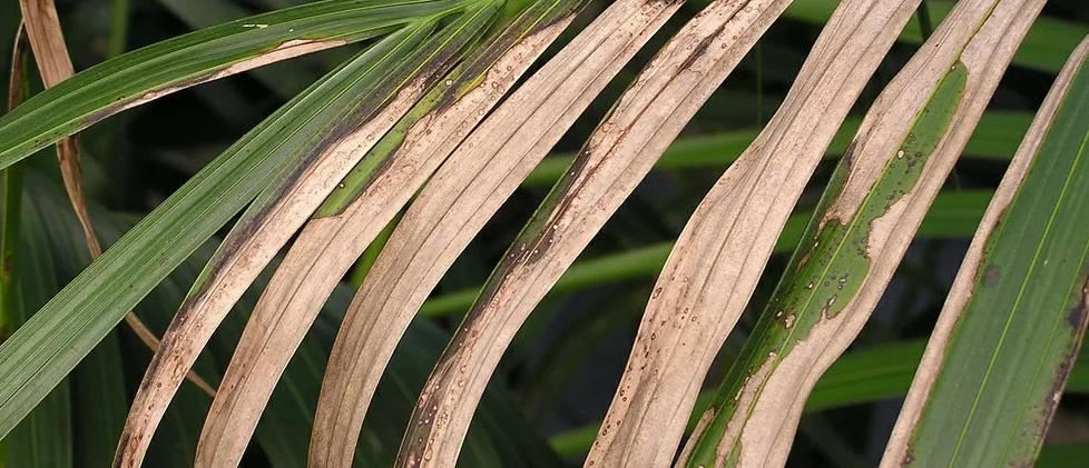 Хлороз пальмы